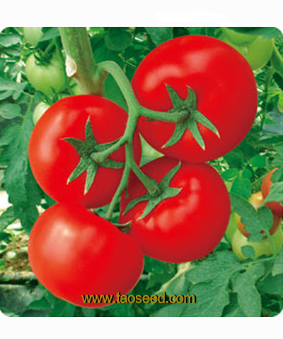 DM001番茄