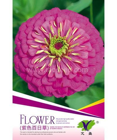 紫色百日草
