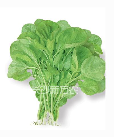 白圆叶苋菜