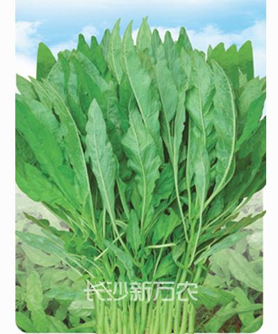 白柳叶苋菜