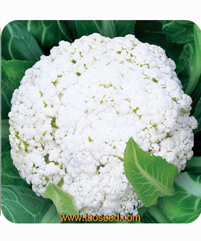 清丰80花椰菜