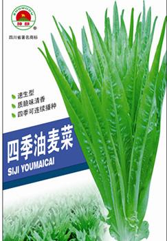四季油麦菜