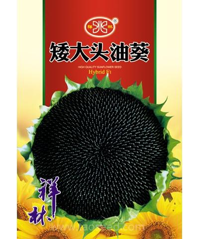 矮大头油葵