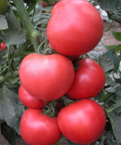 粉艳粉果番茄