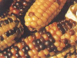 观赏玉米/彩虹