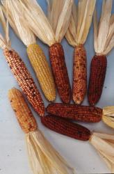 观赏玉米/小印地安