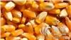 四川声誉酒厂长期大量采购玉米小麦,木薯淀粉