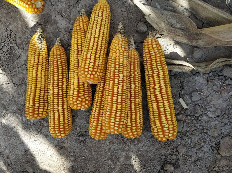 高油玉米杂交种XFG1