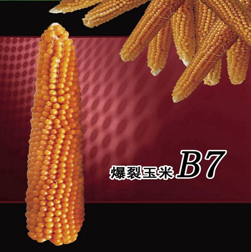 爆裂玉米B7