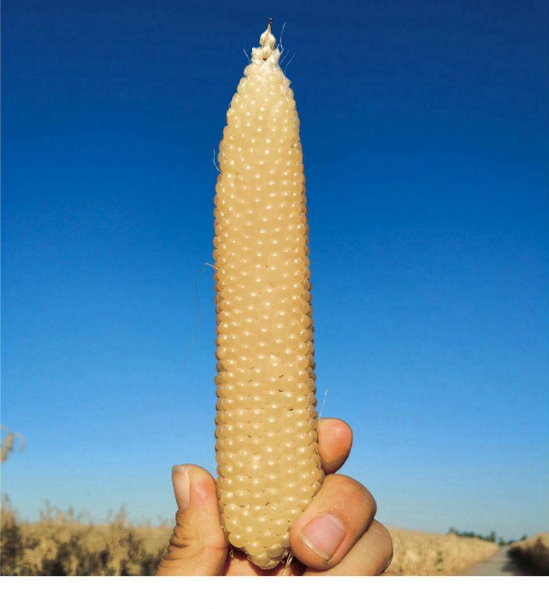 爆裂玉米B5