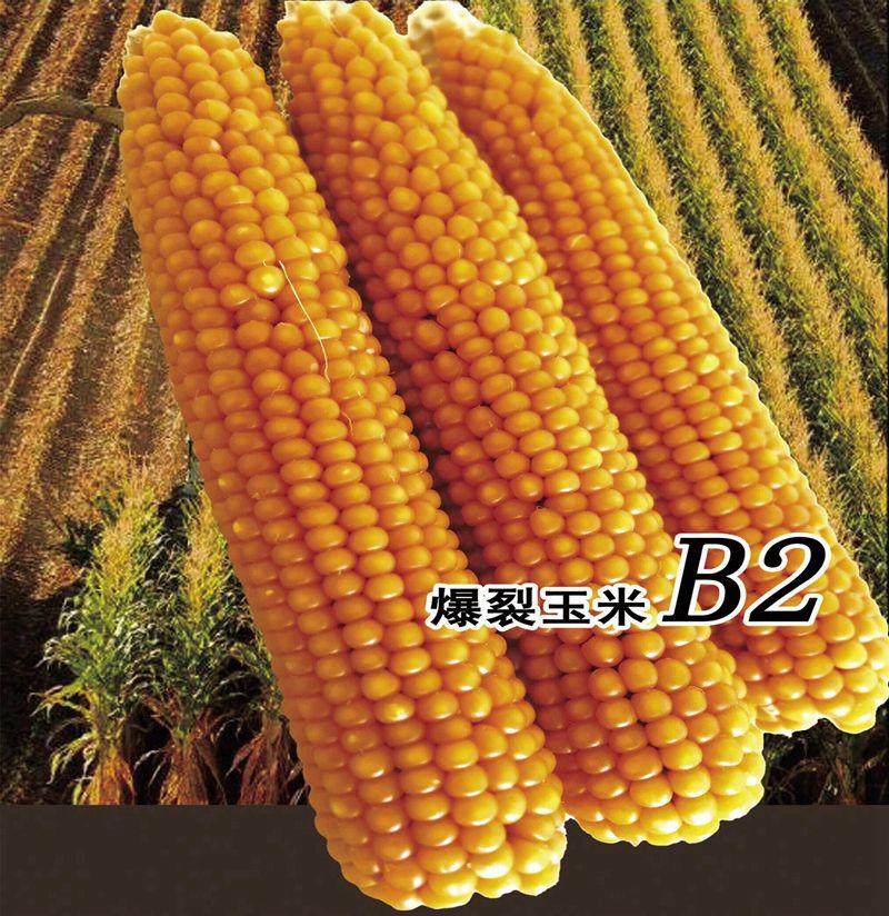 爆裂玉米B2