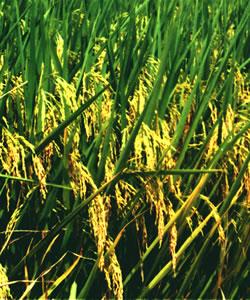 国丰一号--水稻