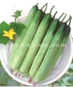 荷兰白刺--黄瓜