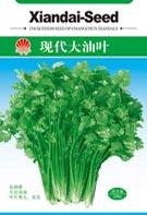 现代大油叶香菜
