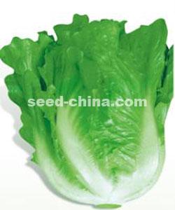 意大利全年耐抽苔生菜