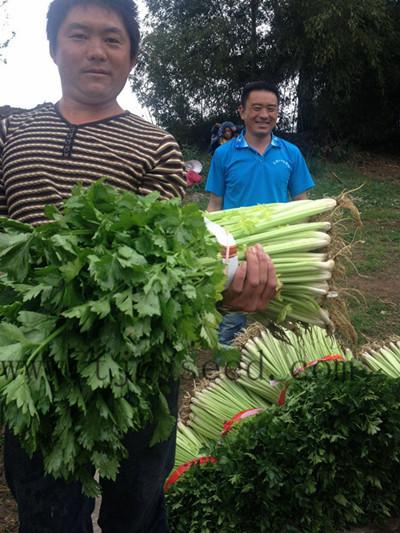 四季王西芹在贵州六盘水表现