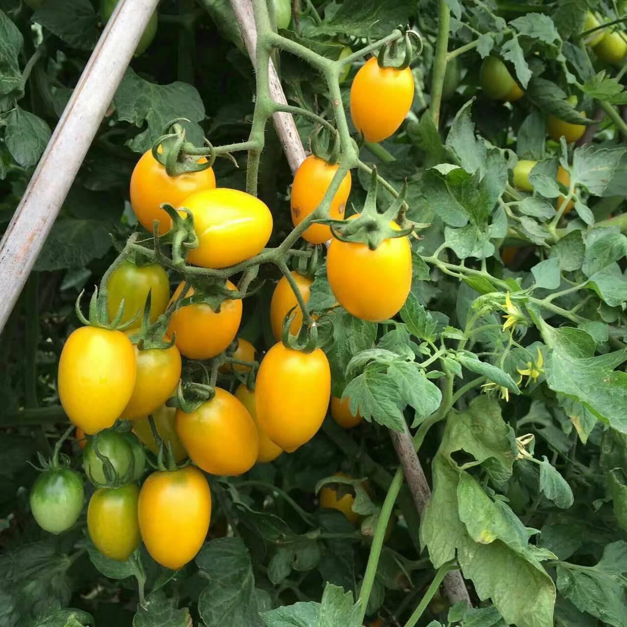 金帝小番茄