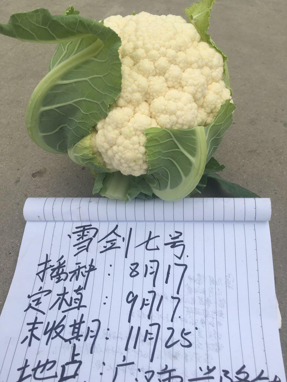 雪剑七号在四川兴隆镇的表现