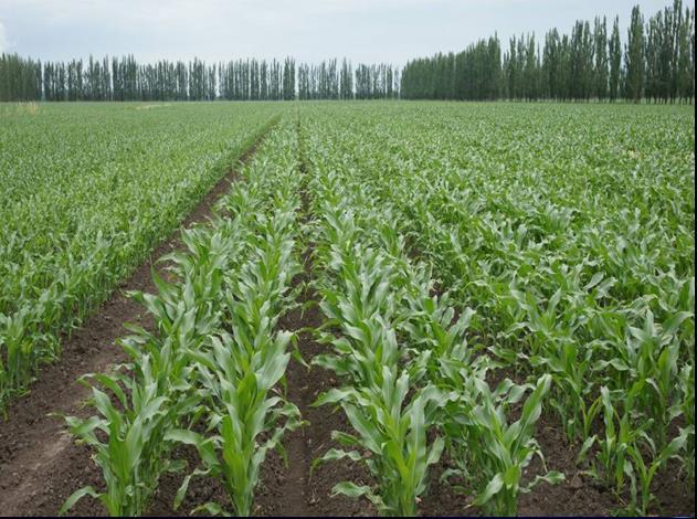 昌吉奇台农场玉米大面积高产高效种植技术-现代玉米生产技术集成与示范