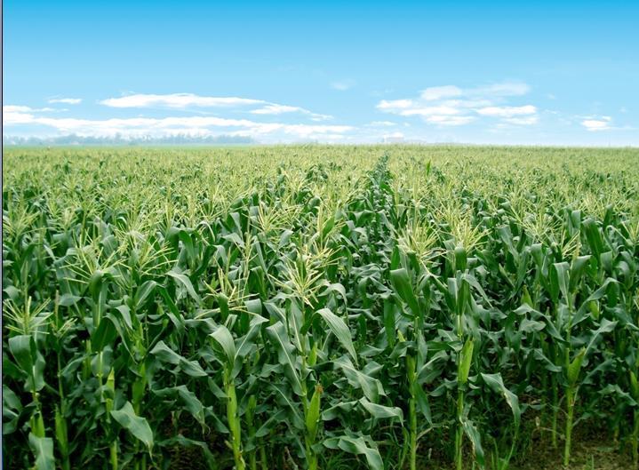 公司甜玉米生产基地