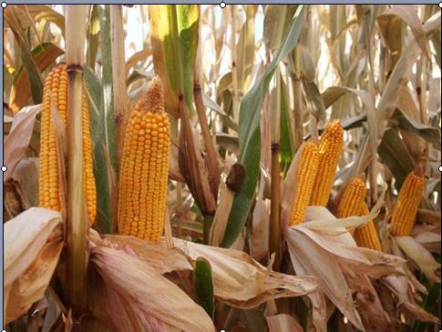 公司新品种在奇台农场亩产达到1385.39kg