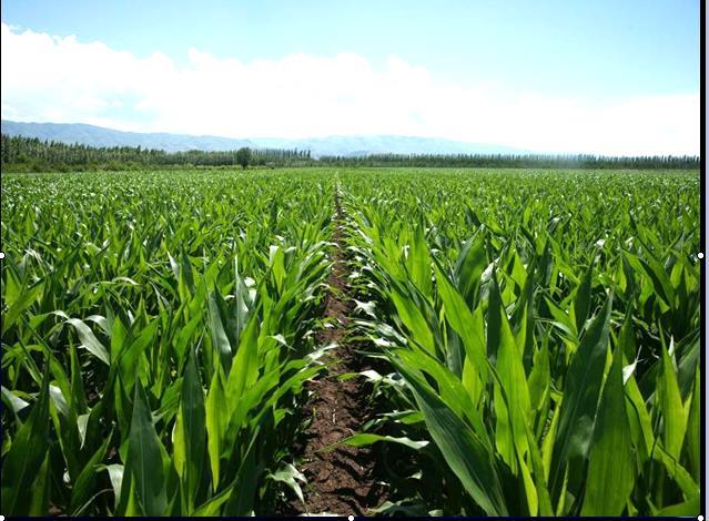 奎屯团场玉米大面积高产高效种植技术--现代玉米生产技术集成与示范