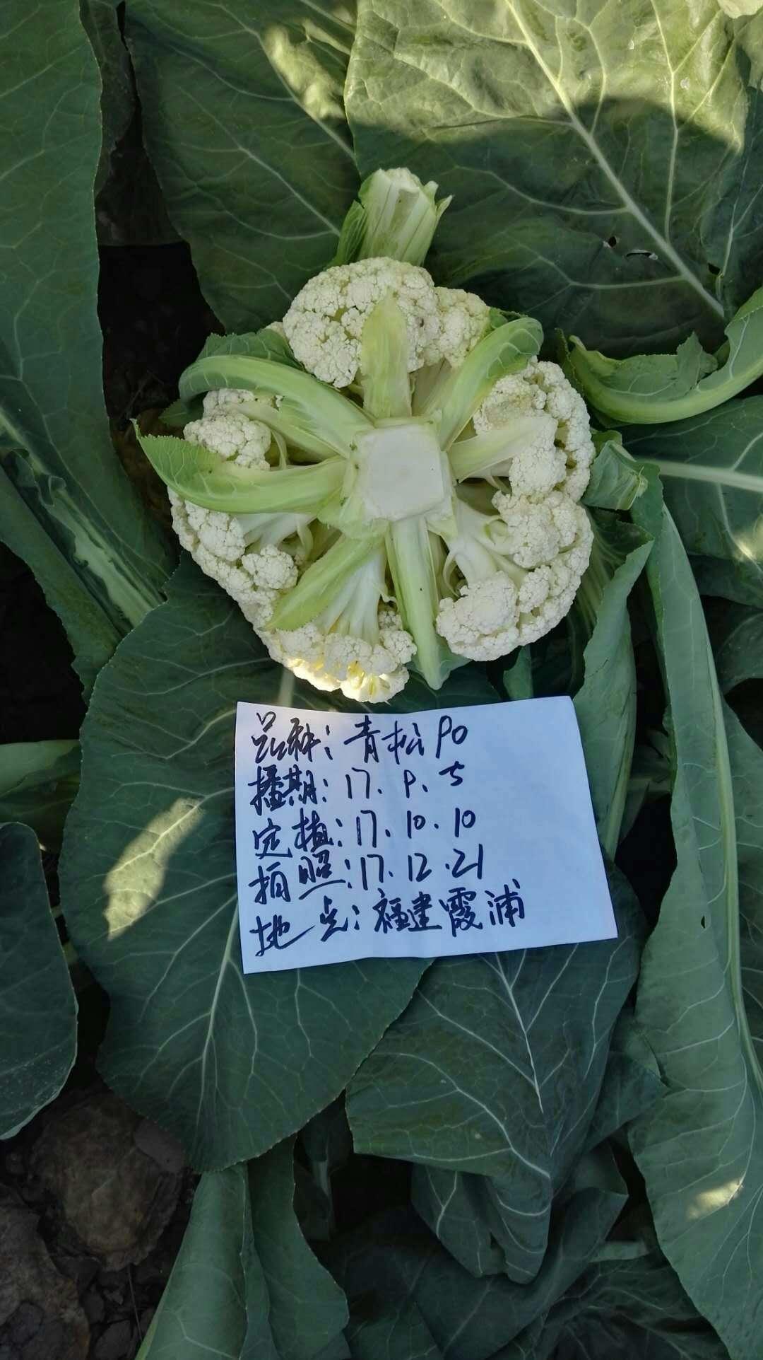 福建霞浦青松90
